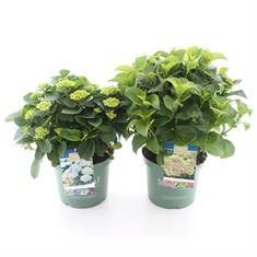 Afbeelding van Hydrangea macrophylla Magical Four Seasons®