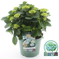 Afbeelding van Hydrangea macrophylla Magical Revolution® (Blauw)