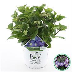 Afbeelding van Hydrangea teller Flair & Fl. Blueberry Cheesecake®