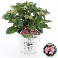 Afbeelding van Hydrangea teller Flair & Flavour Cotton Candy®