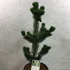 Afbeelding van Pinus parviflora Lohmann