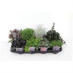 Afbeelding van Vaste planten mix in tray