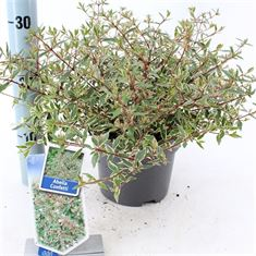 Afbeelding van Abelia grandiflora Confetti