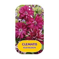 Afbeelding van Clematis RED PASSION
