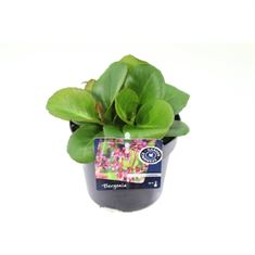 Afbeelding van Bergenia shoeshine rose