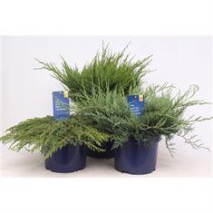 Afbeelding van Juniperus gemengde bak