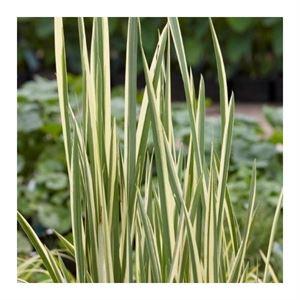 Afbeelding van Acorus calamus variegata