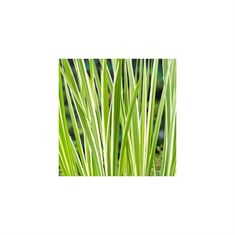 Afbeelding van Acorus calamus variegata. (18x18)
