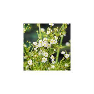 Afbeelding van Alisma parviflora