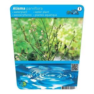 Afbeelding van Alisma parviflora (18x18 )