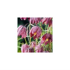 Afbeelding van Fritillaria meleagris
