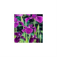 Afbeelding van Iris kaempferi (18x18)