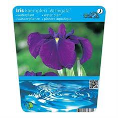 Afbeelding van Iris kaempferi var. (18x18)