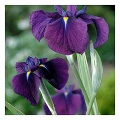 Afbeelding van Iris kaempferi variegata