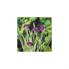 Afbeelding van Iris kaempferi variegata (28x28)