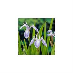 Afbeelding van Iris laev. mot. beauty (18x18)