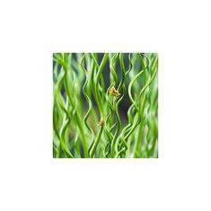 Afbeelding van Juncus effusus spiralis (18x18)