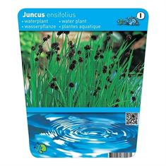 Afbeelding van Juncus encifolius (18x18)