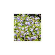 Afbeelding van Mazus reptans blauw (18x18)