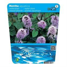 Afbeelding van Mentha aquatica (18x18)