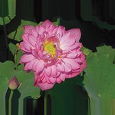 Afbeelding van Nelumbo red (18x18)