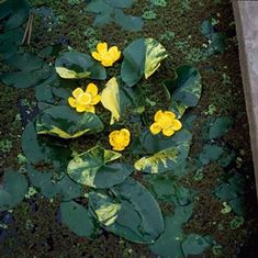 Afbeelding van Nuphar lutea variegata