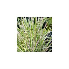 Afbeelding van Phalaris arundinacea picta