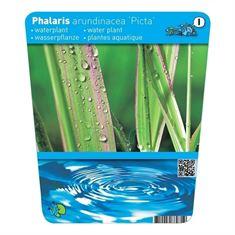 Afbeelding van Phalaris arundinaea picta (18x18)