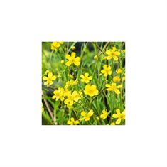 Afbeelding van Ranunculus flammula