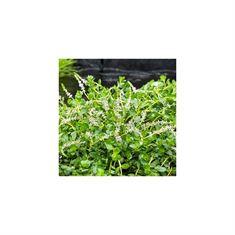 Afbeelding van Rotala rotundifolia green (11x11)