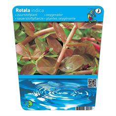 Afbeelding van Rotala indica (18x18)