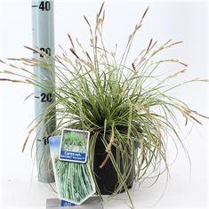 Afbeelding van Carex oshimensis Evercream
