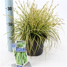 Afbeelding van Carex oshimensis Eversheen