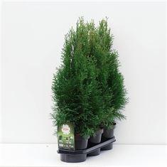 Afbeelding van Hedgeline Thuja occidentalis Smaragd C3