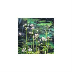 Afbeelding van Valeriana officinalis