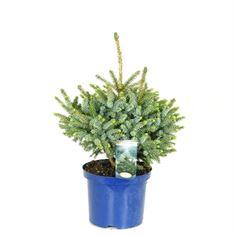 Afbeelding van Picea omorika Nana