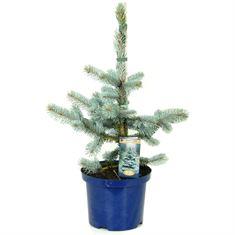 Afbeelding van Picea pungens Hoopsii
