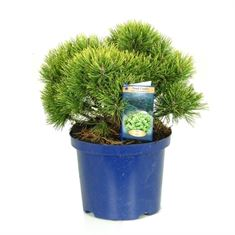 Afbeelding van Pinus mugo Ophir