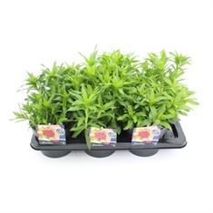 Afbeelding van Dianthus barb. barbarini mix