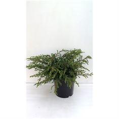 Afbeelding van Juniperus c repanda