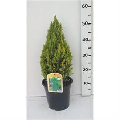 Afbeelding van Picea glauca Laurin