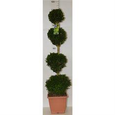 Afbeelding van Buxus sempervirens quattrobol