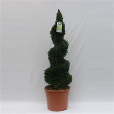 Afbeelding van Buxus sempervirens spiraal 90cm