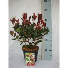 Afbeelding van Photinia fraseri Little Red Robin