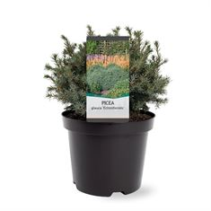 Afbeelding van Picea glauca Echiniformis