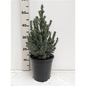 Afbeelding van Picea glauca Sanders Blue
