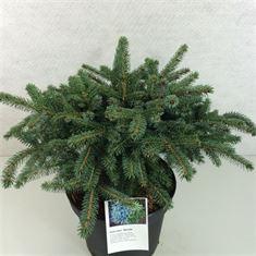 Afbeelding van Picea mariorika(x)Machala