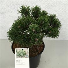 Afbeelding van Pinus mugo March