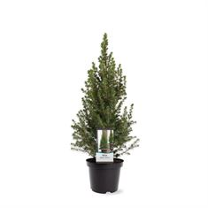 Afbeelding van Picea glauca Conica