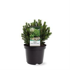 Afbeelding van Picea glauca Alberta Globe